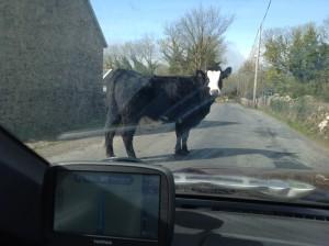 wedding cow